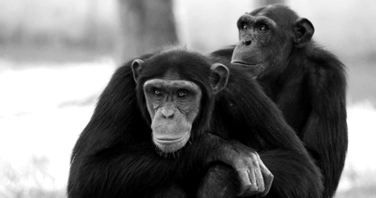 pesquisa macacos e espelhos, teste macacos e espelhos, estudo macacos espelhos, pesquisa neurociencia, macacos e espelhos